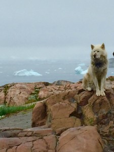 Greenland working dog